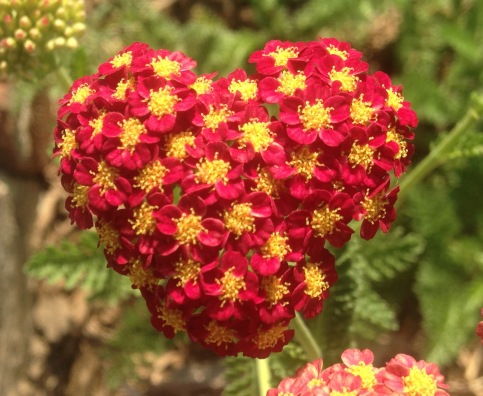 HeartOfYarrow